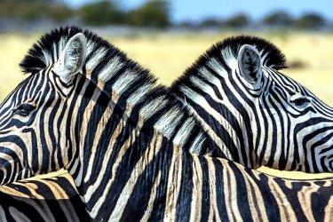 Afrique du Sud : Les zèbres sont légions dans les parcs nationaux.