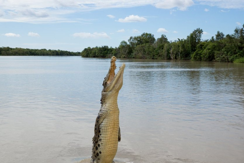 Crocodile marin dans le parc national de Kakadu.