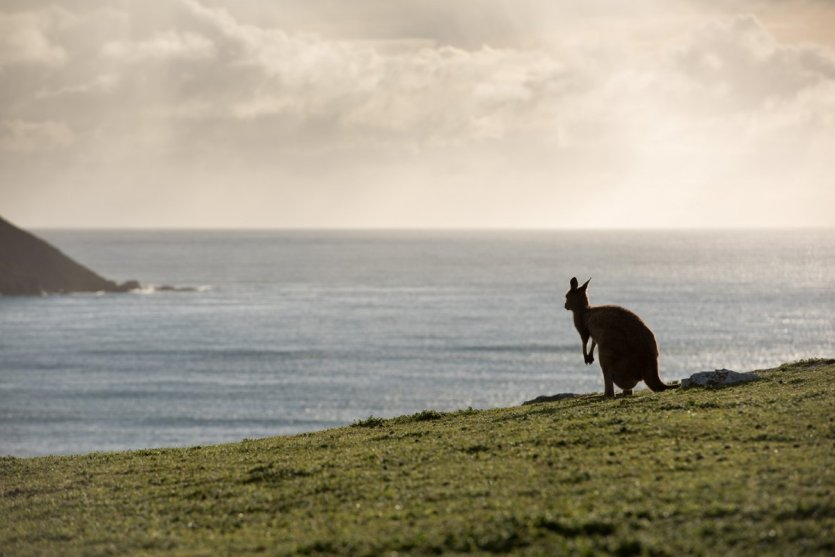 Un kangourou regardant l'horizon sur kangaroo Island.