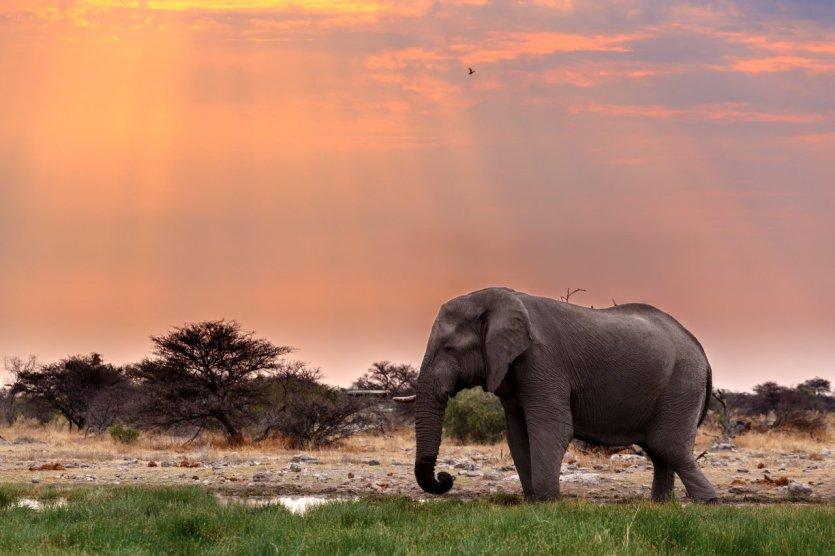 Elephant du parc national d'Etosha.