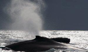 Baleine à bosse, Sainte-Marie