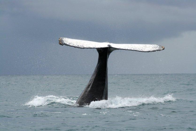 Baleine à bosse, Sainte-Marie - © Arnaud BONNEFOY