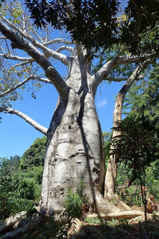 Baobab, à rencontrer lors de la balade. - © Jardin Vanille