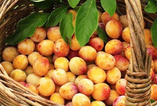 Les mirabelles, fruit emblématique de la région Lorraine - © DR