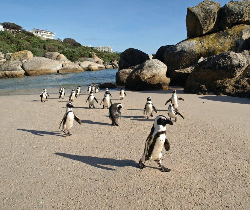 Les immanquables pingouins du Cap.
