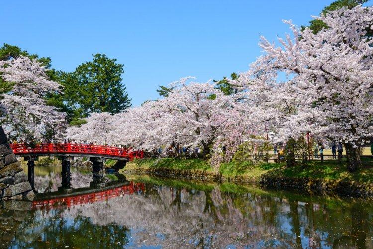 Cerisiers en fleurs dans le parc de Hirosaki - © Hiro 1775