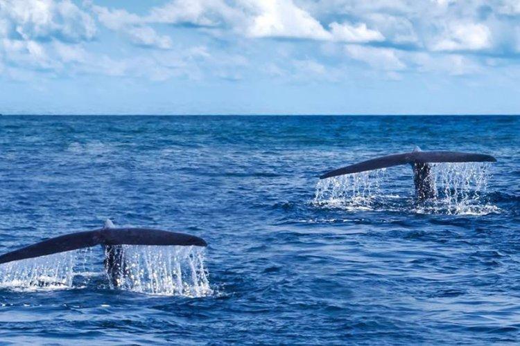 Baleines Panama - © Orbis Panama