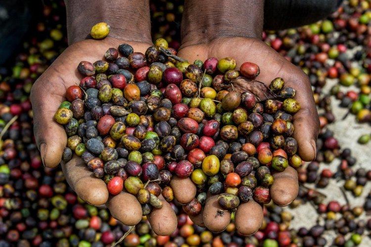 Plantation de café, Mbeya - © gudkovandrey - stock.adobe.com