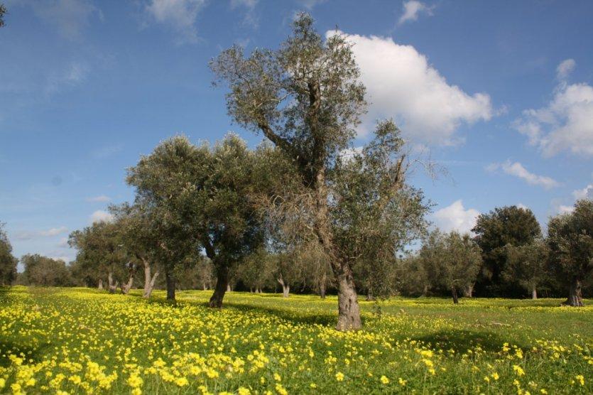 Cultures bio et vergers d'oliviers fleuris dans le sud des Pouilles.