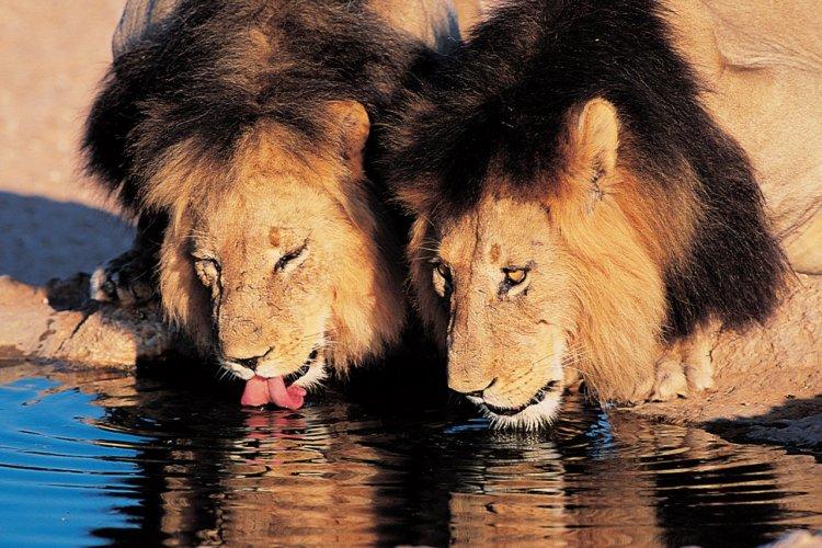 Lions s'abreuvant - © South African Tourism