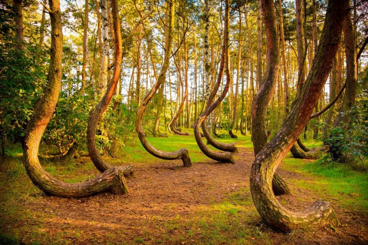 La forêt tordue - © seawhisper - Shutterstock.com