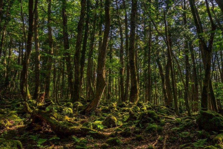 La forêt d'Aokigahara - © Marvin Minder - Shutterstock.com