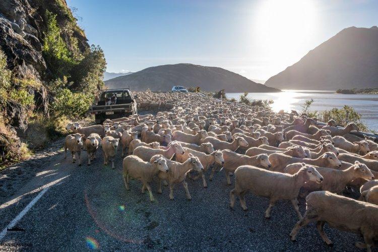 Sheeps on the road - © Stanislas Gros