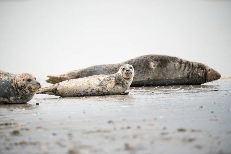 Les phoques de la pointe du Hourdel - © lylie - stock.adobe.com
