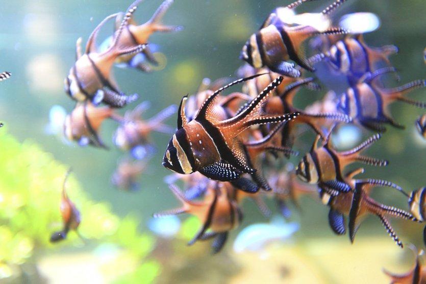 Apogons de Banggai - © Ph. Turpin