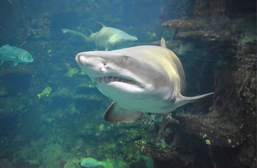 Requin taureau - © L. Merlier
