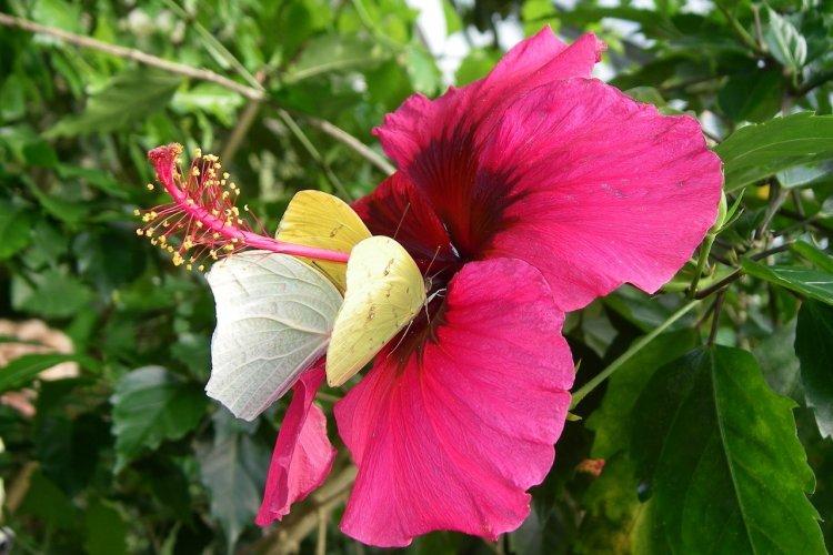 Fleur et papillon Pieridées sur hibiscus - © DR
