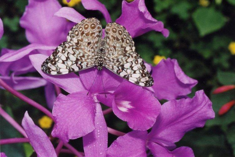 Hamadryas sur orchidées - © DR