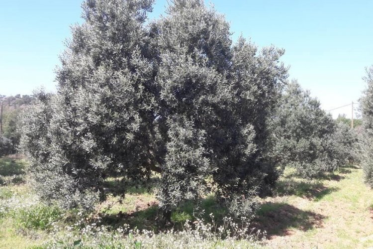 Les oliviers du Domaine du Jasson - © Domaine du Jasson
