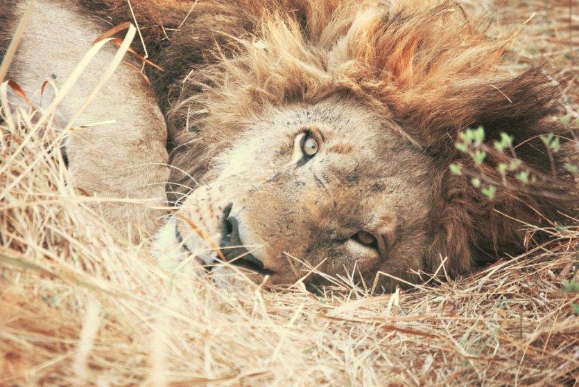 Agence Damarana - Lion à Chobe - © Damarana