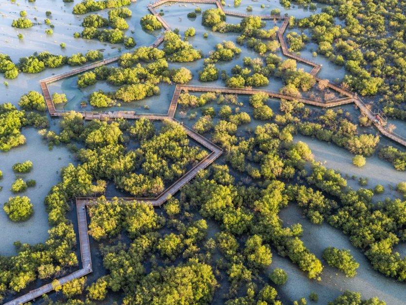 3.S'enfoncer au cœur de la mangrove au Jubail Mangrove Park La mangrove recouvre environ 150 km² de côtes aux Emirats et joue le rôle de « poumon vert » pour les villes. En effet, les mangroves ont la capacité de retenir le carbone et donc de réduire les gaz à effet de serre. A Abu Dhabi, une grande partie de la mangrove est sous la protection d'un parc national et abrite près de 60 000 espèces d'oiseaux et d'animaux marins.   Ouvert début 2020, le tout nouveau Mangrove Park sur l'île de Jubail propose de découvrir cet écosystème si particulier et emblématique de la capitale des Emirats. Cette île située entre Yas et Saadiyat fait actuellement l'objet d'un grand plan d'aménagement immobilier et écotouristique. Un nouveau réseau de passerelles sur pilotis serpente sur 9 hectares à travers la mangrove autour de l'île et fait partie d'un projet développé par Modon Properties qui vise à valoriser cet écosystème unique et précieux. La longue promenade en bois permet aux résidents et aux visiteurs de profiter de c - © visitabudhabi