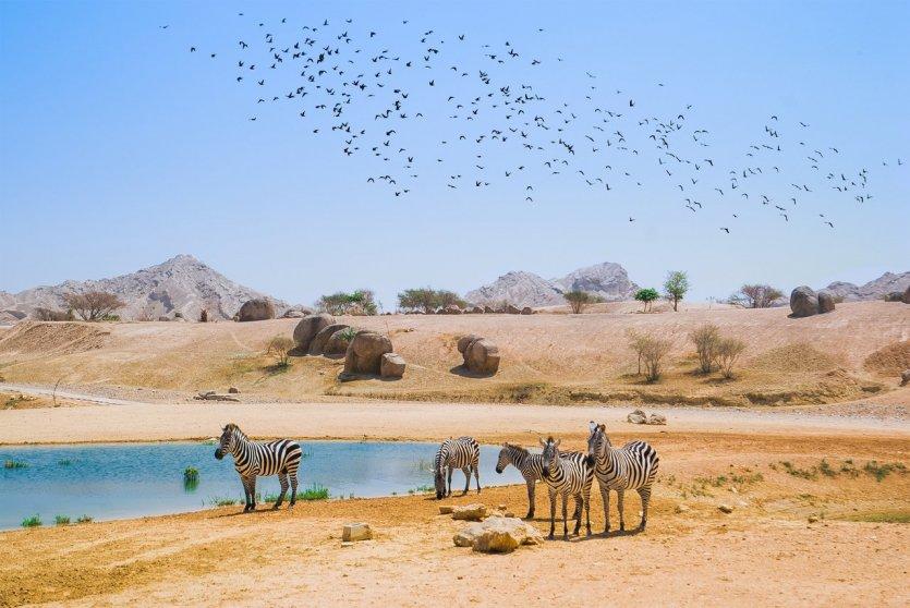 5.Vivre un safari écotouristique à l'oriental sur l'île de Sir Bani Yas  Bien différente des autres îles de l'émirat, Sir Bani Yas offre une expérience de nature à l'état sauvage. Paradis des activités de plein air et de l'aventure, cette île de 87km² abrite sur plus de la moitié de son territoire l'Arabian Wildlife Park, une vaste réserve animalière protégée comptant plus de 13 000 animaux en liberté. Créée notamment pour protéger des espèces menacées, la réserve permet aujourd'hui d'aller à la rencontre d'oryx d'Arabie, de gazelles, de girafes, d'antilopes, d'autruches et même de guépards.  Au programme d'un séjour sur Sir Bani Yas : safari en 4x4 à la découverte de la faune et flore locale, randonnée à travers les zones rocheuses de l'île sur les traces des animaux, excursion en VTT ou à cheval, kayak de mer à travers la mangrove ou vers le lagon des flamands roses, snorkeling pour tenter de croiser tortues ou dugongs… nature et animaux y sont partout à l'honneur. On peut séjourner dans des lodges au sein - © visitabudhabi