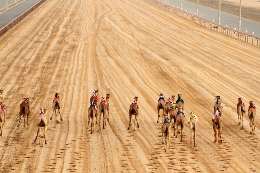 9.Assister à une course de dromadaires Les courses de dromadaires sont un sport traditionnel très populaire à Abu Dhabi, où il existe plusieurs « camelodromes » et d'importantes compétitions. Ce sont des événements particulièrement spectaculaires car, bien que cela soit peu connu, les dromadaires peuvent atteindre des pics de vitesse de 65km/h et maintenir une vitesse de 40km/h pendant plus d'une heure. Les courses ont lieu très tôt le matin pendant les week-ends et sont d'excellentes occasions de s'imprégner de la culture locale et de faire des rencontres avec des Emiratis. Beaucoup de bédouins ont encore des fermes de dromadaires dans le désert, où ces incroyables animaux sont élevés pour la course, pour le lait ou plus insolite, pour des concours de beauté ! - © visitabudhabi