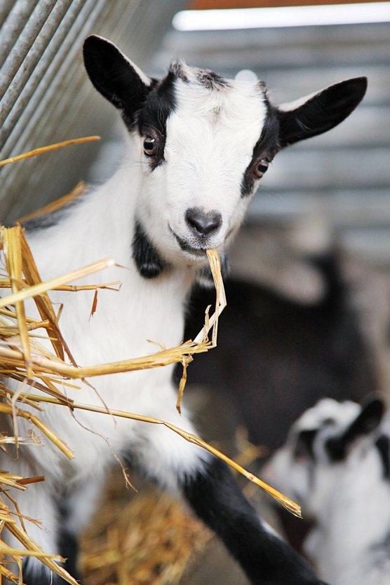 Visite d'un élevage de chèvres - © ATC - S