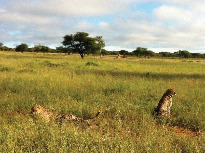 guépard alias Cheetah à Onkojima - © Camille ESMIEU