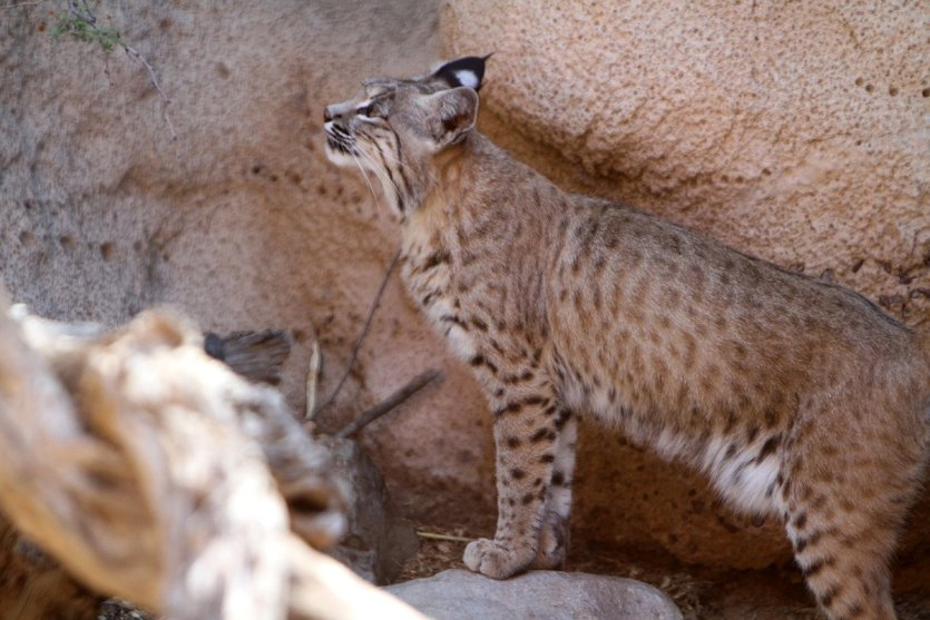 La faune du Saguaro National Park - © Stéphan SZEREMETA
