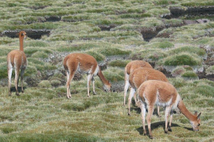 Vigognes paissant dans les bofedales du Parc national Lauca - © Arnaud BONNEFOY