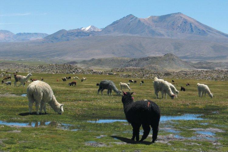Lamas dans les bofedales - © Arnaud BONNEFOY
