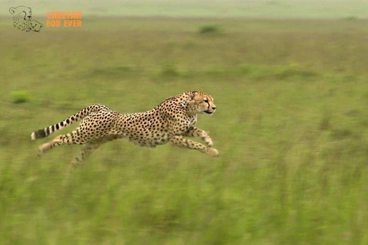 - © Tony Crocetta - Cheetah For Ever