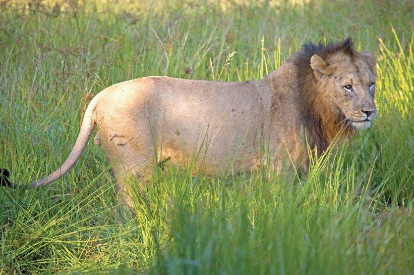 pays Zoulou, réserve privée, lion à l'affut - © Tom Pepeira - Iconotec