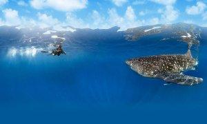 Avec ses 13 m de longueur, le requin-baleine (Rhincodon typus) est le plus grand poisson du monde. Il est pourtant inoffensif et se retrouve dans les eaux tropicales et tempérées.