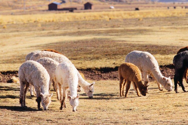 Les alpagas se sont bien acclimatés au climat péruvien. - © Author's Image