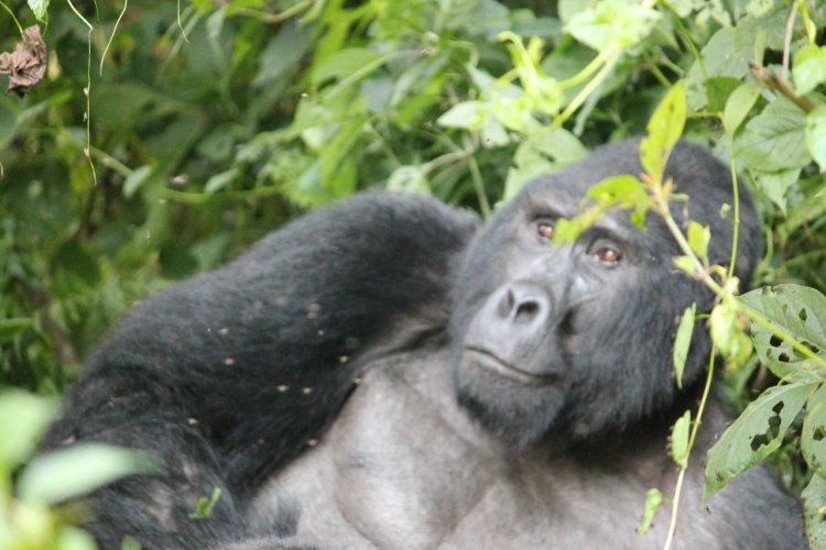 Gorille à dos argenté - © Camille ESMIEU