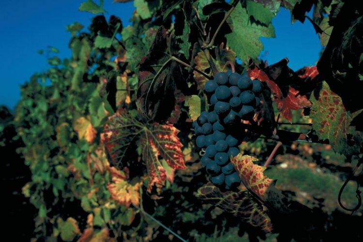 Grappe de raisin du Beaujolais - © PIERRE DELAGUÉRARD - ICONOTEC