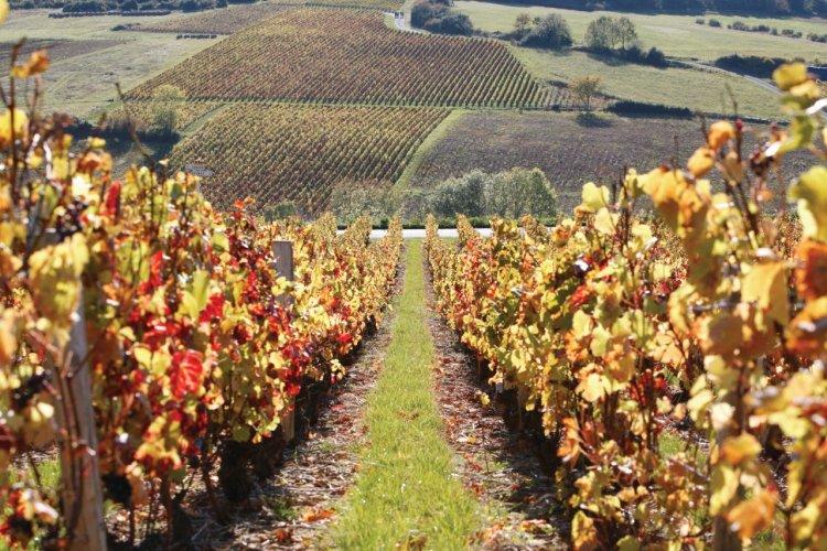 Vignoble du Beaujolais près de Theizé. - © Volfoni