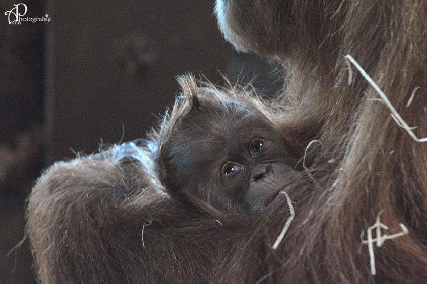 Le petit Tupaï dans les bras de sa mère. - © Photographie Anna