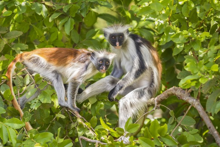 Singes colombus, Parc national Jozani Chwaka Bay. - © SanderMeertinsPhotography - Shutterstock.com