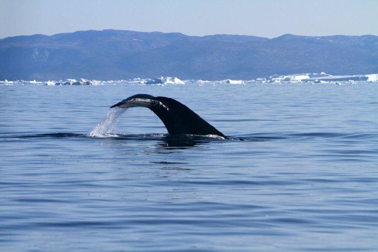 Les baleines sont nombreuses dans la Baie de Disko - © Stéphan SZEREMETA