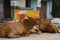 Les vaches sont les maîtresses des centres-villes. (© Stéphan SZEREMETA)