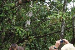 Observation des singes sur la rivière Kinabatangan (© Stéphan SZEREMETA)