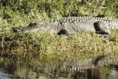 Alligator. (© Photoscom)