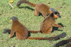 Lémuriens dans la réserve de Nahampoana (© Arnaud BONNEFOY)