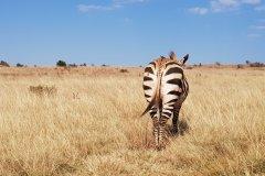 Zèbre, Rhino & Lion Nature Reserve. (© Chloé OBARA)