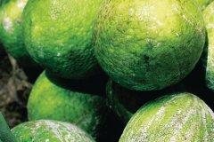 Fruits de l'arbre à pain au marché de Kingston. (© Sir Pengallan - Iconotec)