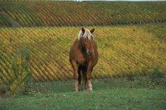 Cheval dans le vignoble comtois (© PIERRE DELAGUÉRARD - ICONOTEC)