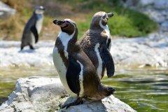 Manchots du zoo de Barcelone. (© Weblogiq - Shutterstock.com)